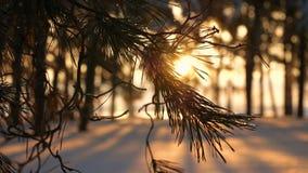 Красивая ветвь сосны на ветре захода солнца отбрасывая, снеге на ветви сосны, лесе вечера зимы, парке на предпосылке солнца акции видеоматериалы