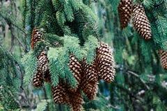 Красивая ветвь с концом-вверх конусов, Transcarpathia ели стоковые фотографии rf