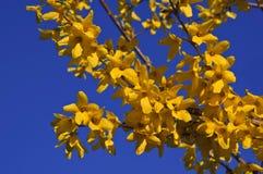 Красивая ветвь цвести желтый forsythia против голубого неба Стоковая Фотография RF