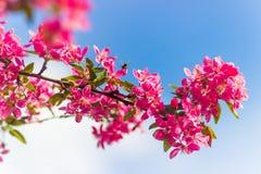 Красивая ветвь blossoming вишневые цвета против голубого Стоковые Изображения