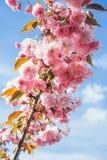 Красивая ветвь blossoming вишневые цвета против голубого Стоковые Фото