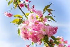 Красивая ветвь blossoming вишневые цвета против голубого Стоковое Фото