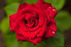 Красивая влажная красная роза в саде во время цветеня весны Стоковое Фото