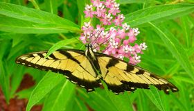 Красивая восточная бабочка Swallowtail тигра на цветке Milkweed Стоковое фото RF