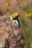 Красивая восточная Collared ящерица Стоковая Фотография