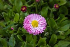 Красивая в расцвете маргаритка цветка стоковое изображение rf