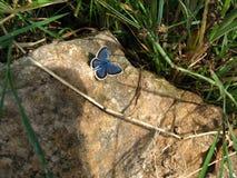 Красивая голубая бабочка сидя на камне Стоковые Фотографии RF