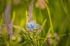 Красивая голубая бабочка сидя на цветке veronica Малая бабочка на gypsyweed Крупный план насекомого на заводе Стоковые Фотографии RF