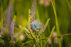Красивая голубая бабочка сидя на цветке veronica Малая бабочка на gypsyweed Крупный план насекомого на заводе Стоковое фото RF