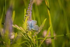 Красивая голубая бабочка сидя на цветке veronica Малая бабочка на gypsyweed Крупный план насекомого на заводе Стоковые Изображения RF