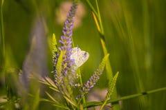 Красивая голубая бабочка сидя на цветке veronica Малая бабочка на gypsyweed Крупный план насекомого на заводе Стоковые Изображения