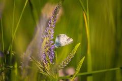 Красивая голубая бабочка сидя на цветке veronica Малая бабочка на gypsyweed Крупный план насекомого на заводе Стоковое Фото