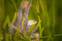 Красивая голубая бабочка сидя на цветке veronica Малая бабочка на gypsyweed Крупный план насекомого на заводе Стоковое Изображение