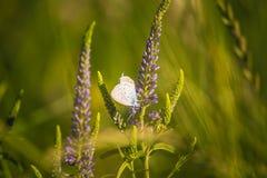 Красивая голубая бабочка сидя на цветке veronica Малая бабочка на gypsyweed Крупный план насекомого на заводе Стоковое Изображение RF