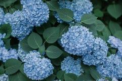 Красивая голубая предпосылка цветка гортензий стоковое фото rf