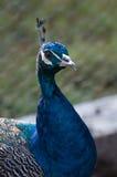 Красивая голубая голова павлина (Pavo Cristatus) Стоковые Фото