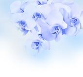 Красивая голубая орхидея Стоковое Изображение RF