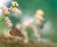 Красивая голубая стекловидная бабочка тигра в саде Стоковое фото RF