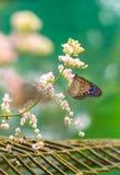 Красивая голубая стекловидная бабочка тигра в саде Стоковое Изображение RF