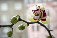 Красивая группа в составе белая и розовая орхидея цветет в цветени с бутонами Стоковые Фотографии RF