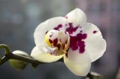 Красивая группа в составе белая и розовая орхидея цветет в цветени с бутонами Стоковое Изображение