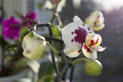 Красивая группа в составе белая и розовая орхидея цветет в цветени с бутонами Стоковое фото RF