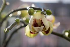 Красивая группа в составе белая и розовая орхидея цветет в цветени с бутонами Стоковая Фотография