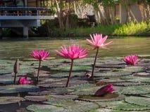 Красивая группа в составе зацветая цветки лотоса или лилия воды с листьями в пруде стоковое изображение rf