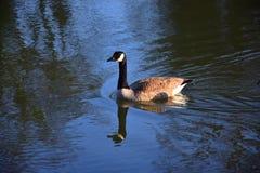 Красивая гусыня Канады плавая в озере стоковое фото
