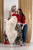 Красивая девушка брюнета в свитере santa играя с белой собакой стоковое фото rf
