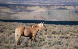 Красивая дикая лошадь на равнинах Колорадо высоких стоковое изображение