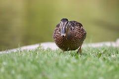 Красивая дикая утка идя на накошенную лужайку стоковые изображения
