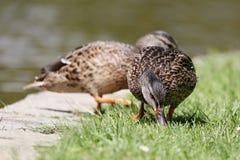 Красивая дикая утка идя на накошенную лужайку стоковое изображение