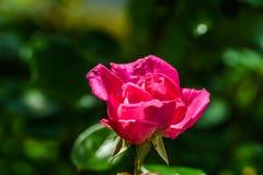 Красивая единственная розовая роза, съемка макроса, расплывчатая предпосылка стоковая фотография rf