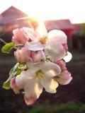 Красивая деревня весны цветений Яблока в вечере Стоковое Изображение RF