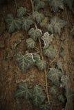 Красивая естественная предпосылка листьев плюща на коре дерева стоковая фотография rf