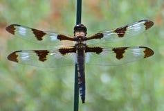 Красивая детальная муха дракона! Стоковая Фотография