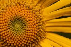 Красивая желтая маргаритка растет на конце medow весны вверх Стоковые Фото