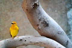Красивая желтая птица садилась на насест на ветви дерева стоковое изображение