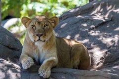 Красивая женская африканская львица Стоковая Фотография