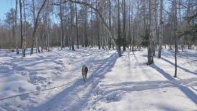 Красивая женщина и малый ребенок идя в лес зимы с осиплой собакой Счастливая молодая мать с дочерью в видеоматериал