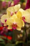 красивая желтая ветвь орхидеи на тропическом саде Стоковая Фотография
