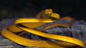 Красивая желтая змейка, восточная змейка хлыста Стоковое фото RF