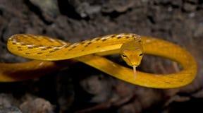 Красивая желтая змейка с языком, восточная змейка хлыста Стоковые Фото