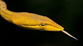 Красивая желтая змейка с языком, восточная змейка хлыста Стоковое Фото