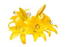 Красивая желтая изолированная лилия, Стоковые Изображения