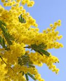 Красивая желтая мимоза Стоковые Изображения RF
