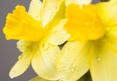 Красивая желтая мимоза Стоковое Изображение RF