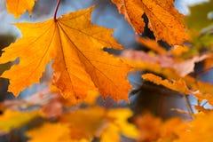 Красивая желтая предпосылка листьев осени оранжевого красного цвета Стоковое Изображение RF