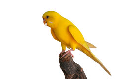 Красивая желтая птица волнистого попугайчика Стоковое Изображение